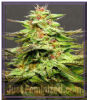 Big Head Julie's Cookies Female 10 Marijuana Seeds